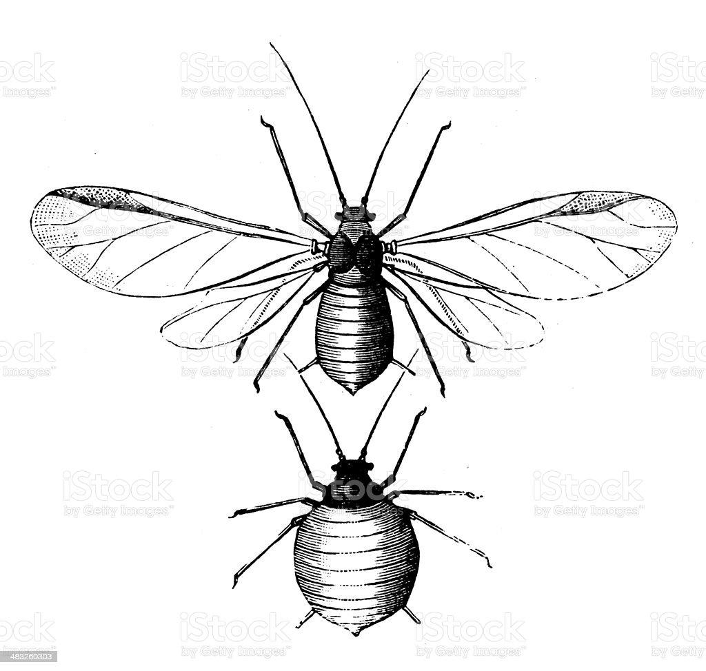 Antique illustration of Rhopalosiphum padi vector art illustration