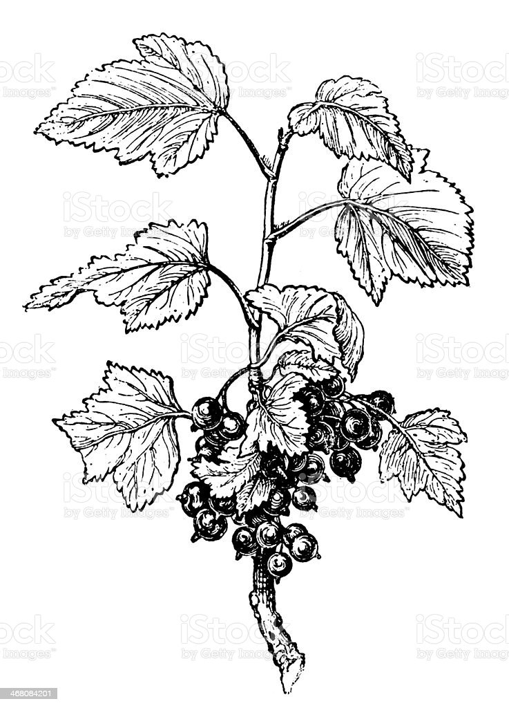 Antique illustration of Ribes, Currant vector art illustration