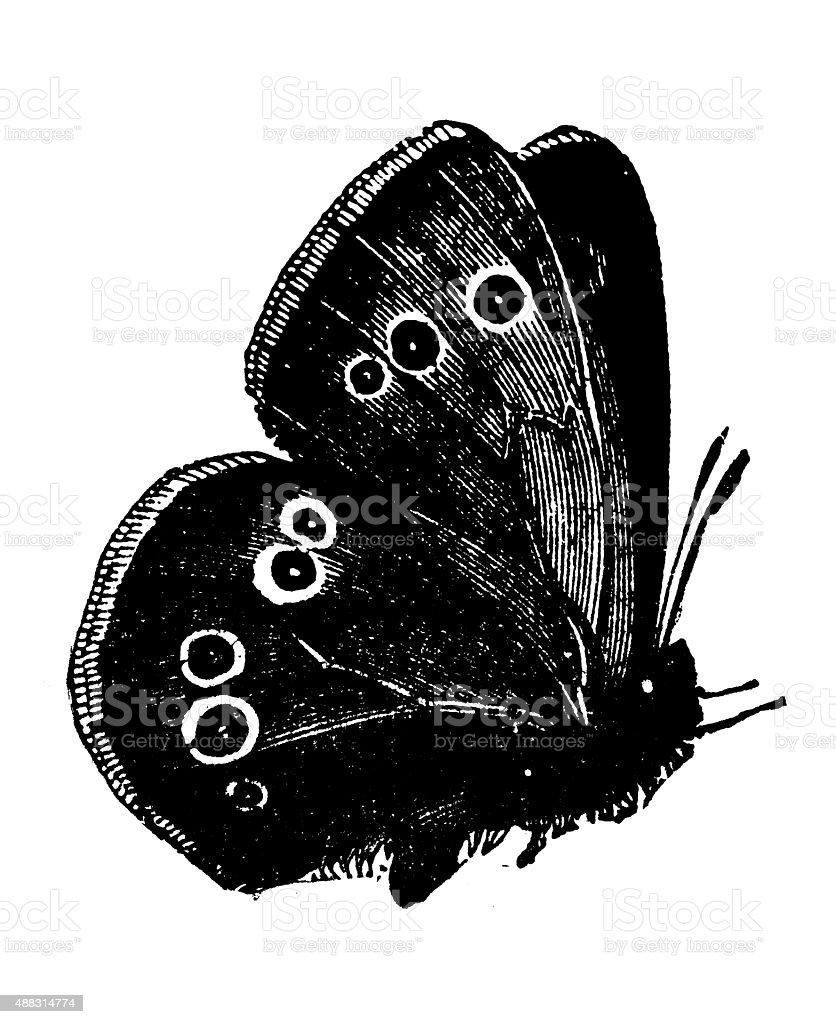 Antique illustration of Ringlet butterfly vector art illustration