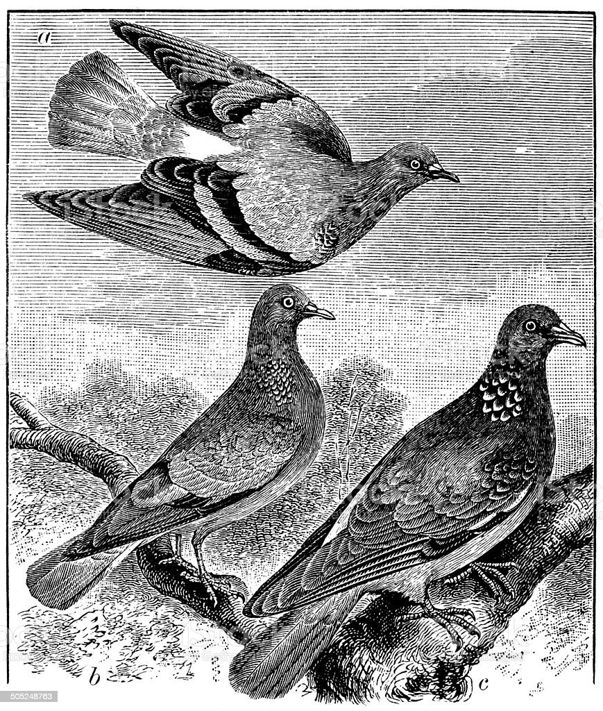 Antique illustration of rock dove, stock dove and ring dove vector art illustration
