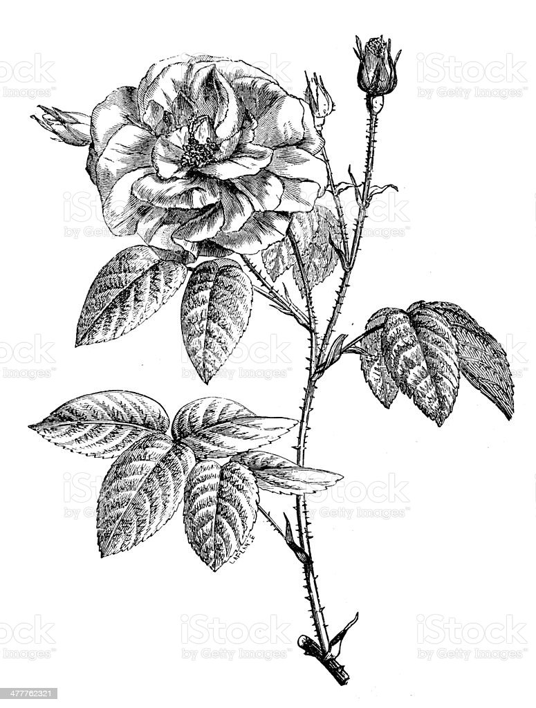 Antique illustration of rose vector art illustration