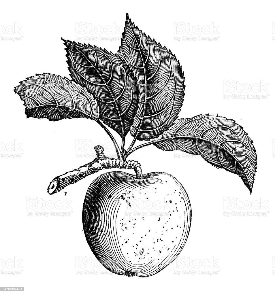 Antique illustration of Russet apple vector art illustration