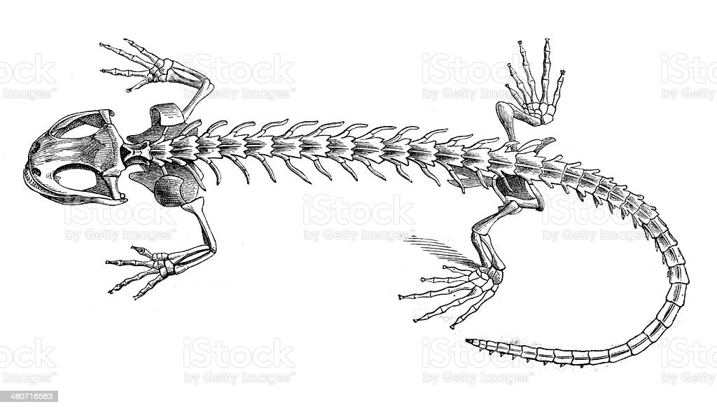 Antique illustration of salamander skeleton vector art illustration