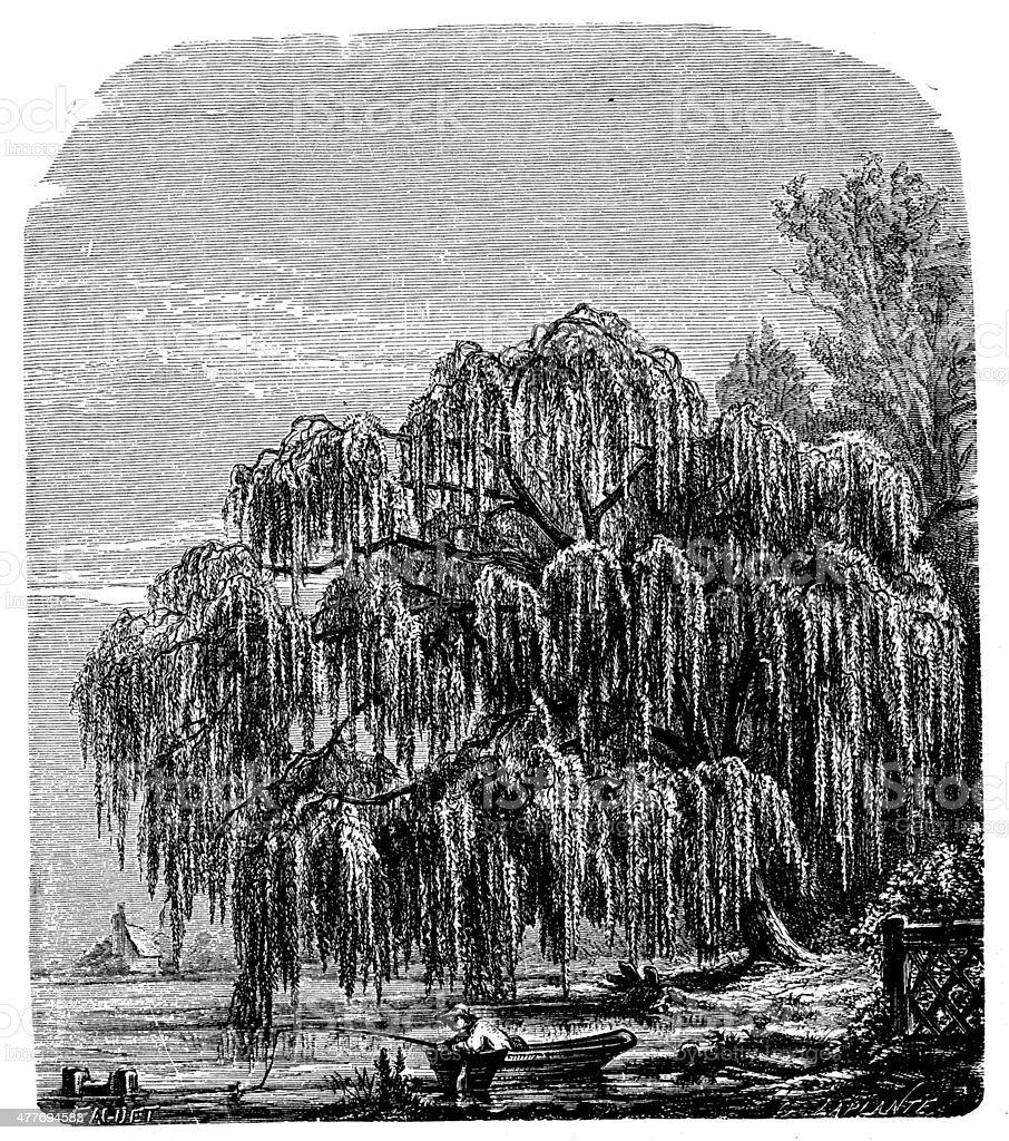 Antique illustration of Salix babylonica (Babylon willow or weeping willow) vector art illustration