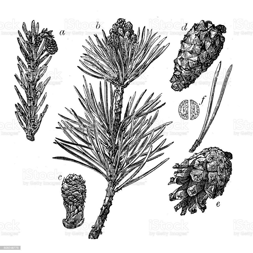 Antique illustration of Scots pine (Pinus sylvestris) vector art illustration