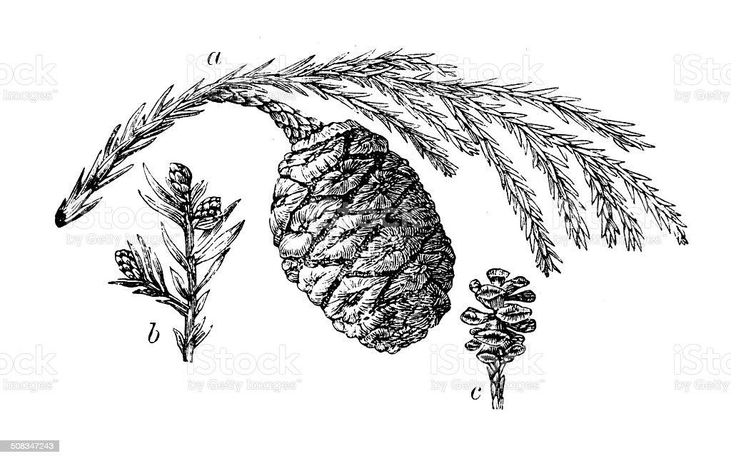 Antique illustration of Sequoia cones vector art illustration