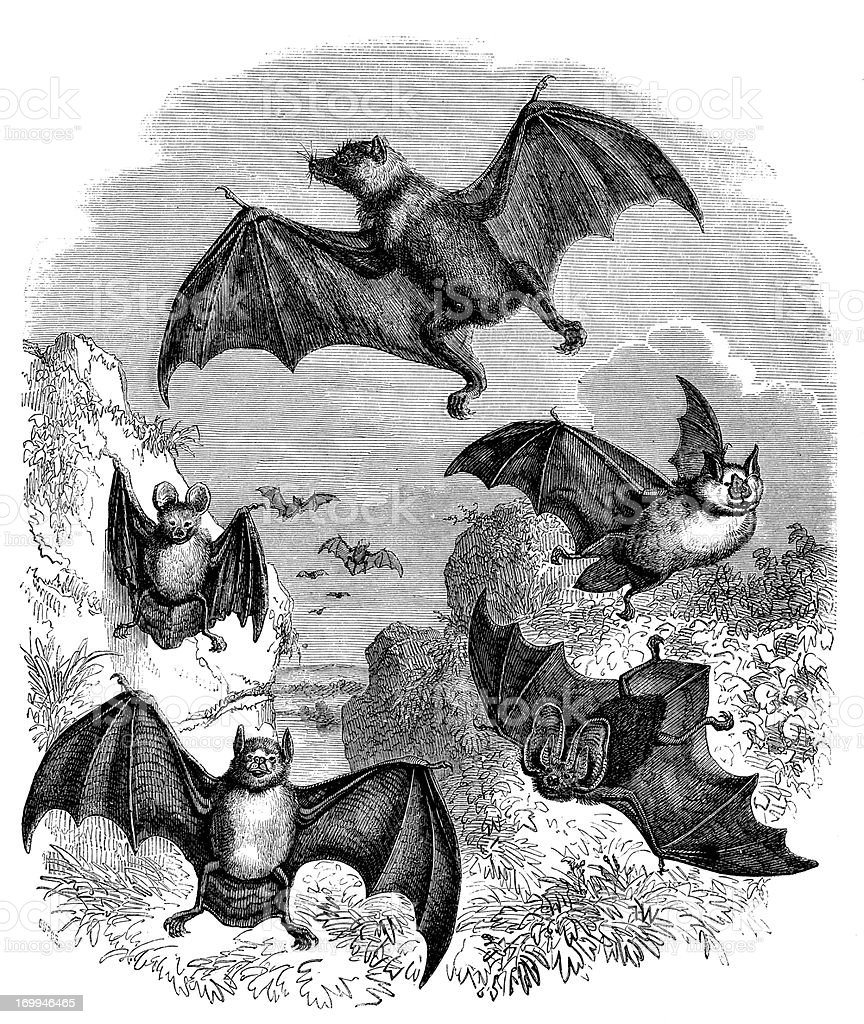 Antique illustration of several types bat royalty-free stock vector art