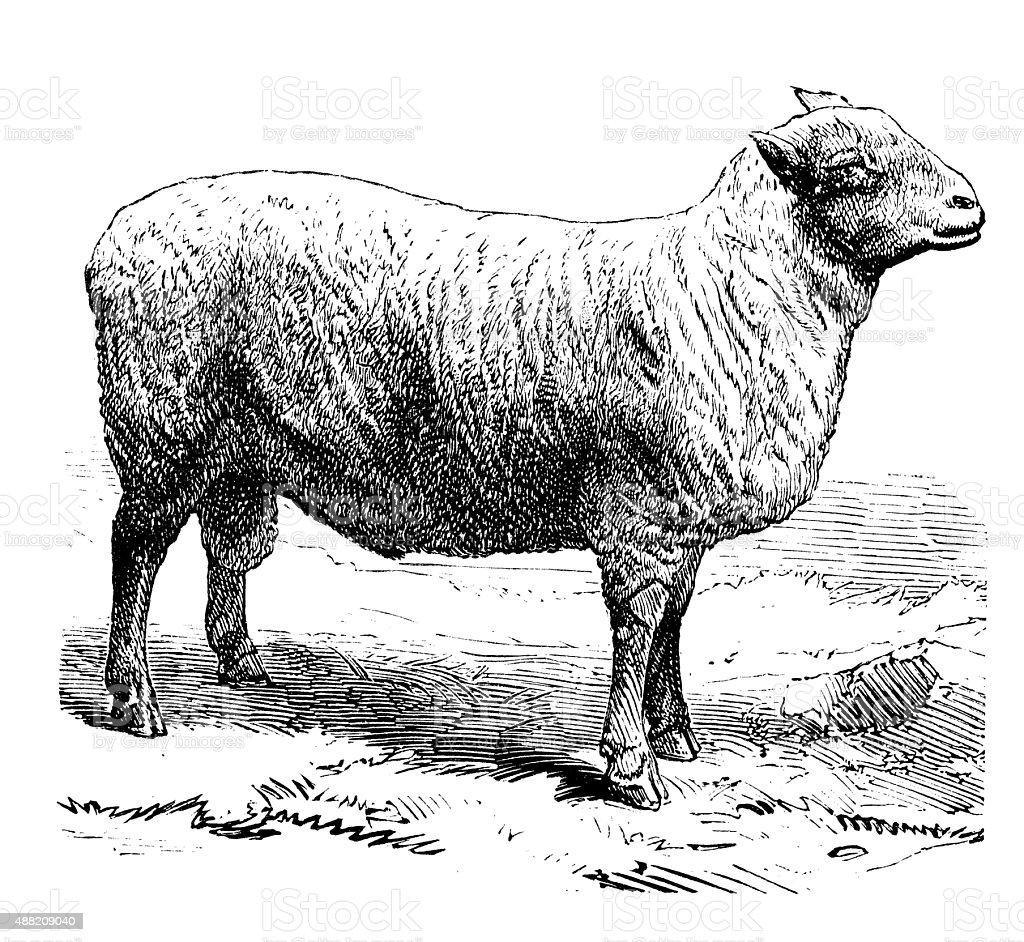 Antique illustration of sheep vector art illustration