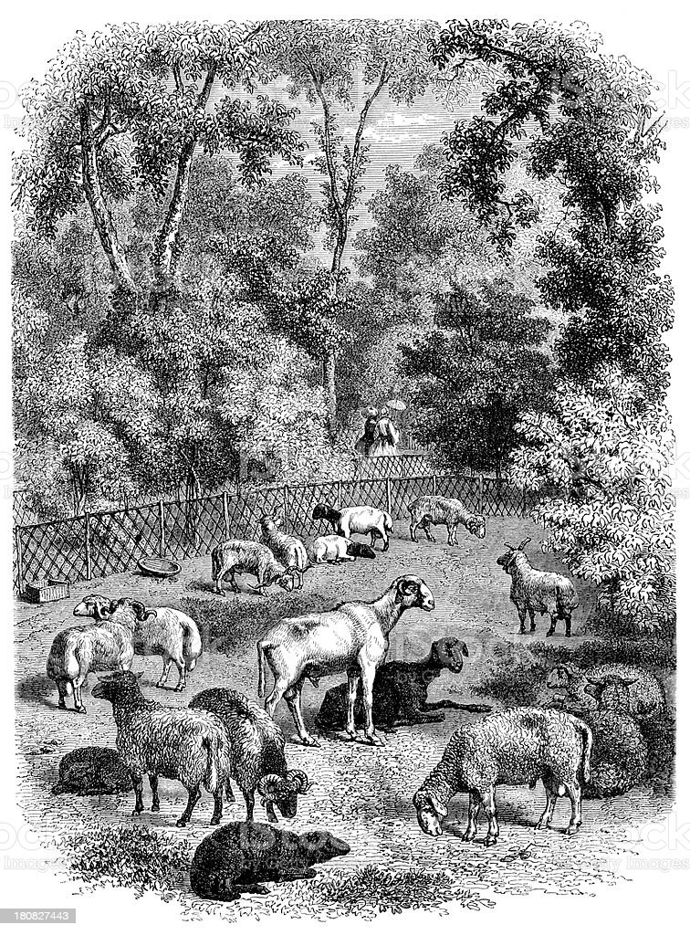 Antique illustration of sheep in natural history museum royalty-free stock vector art
