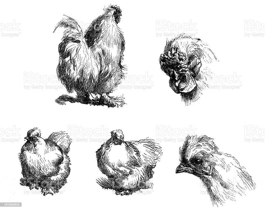 Antique illustration of Silkie chicken sketches royalty-free stock vector art