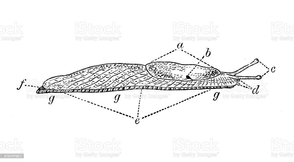 slug diagram - 28 images - show posts pamaxx, snails aquaticheaven ...