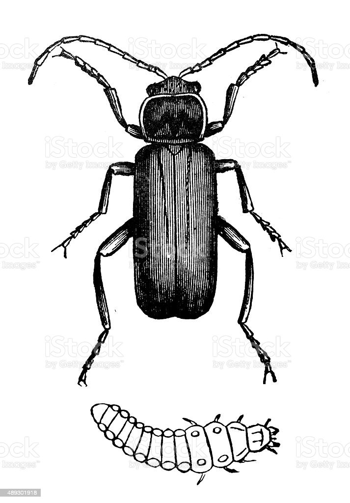 Antique illustration of soldier beetle (Cantharis fusca) and larva vector art illustration