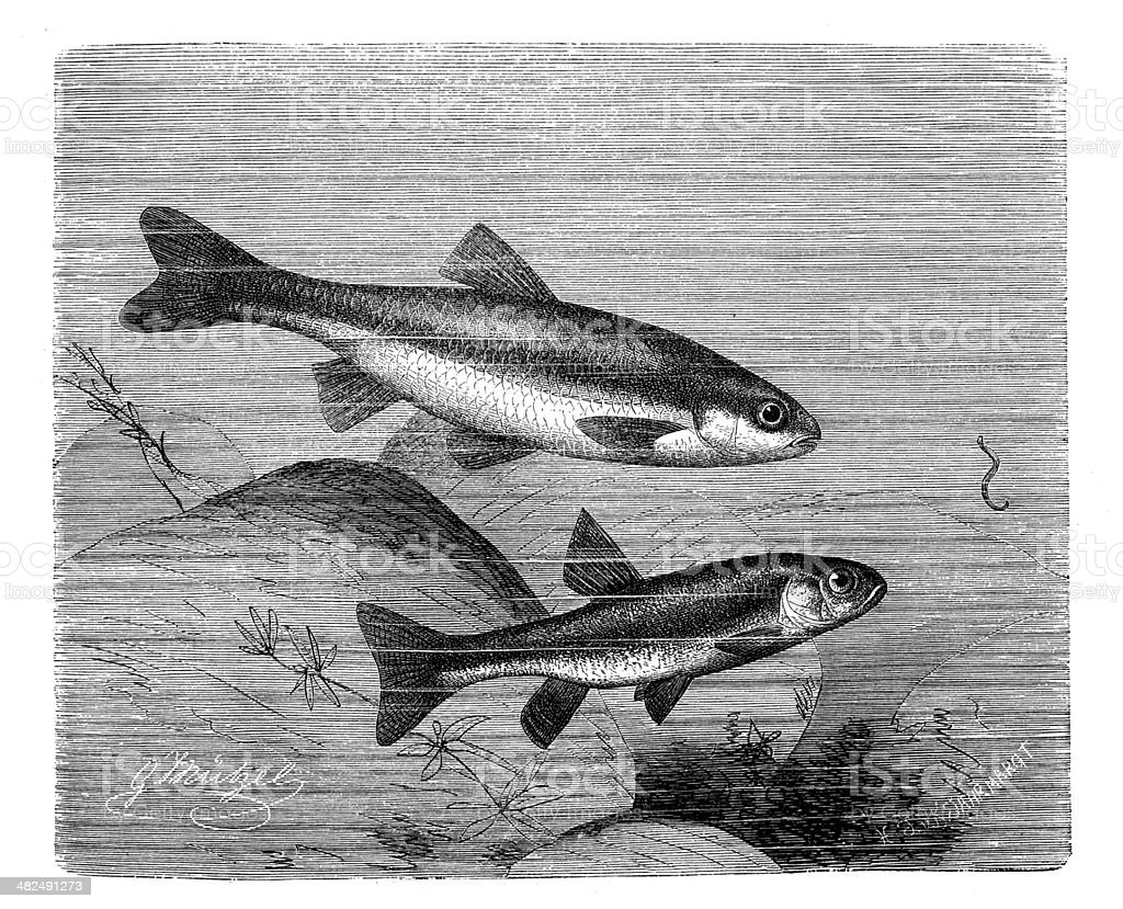 Antique illustration of Souffia (Telestes souffia) and minnow (Phoxinus phoxinus) royalty-free stock vector art