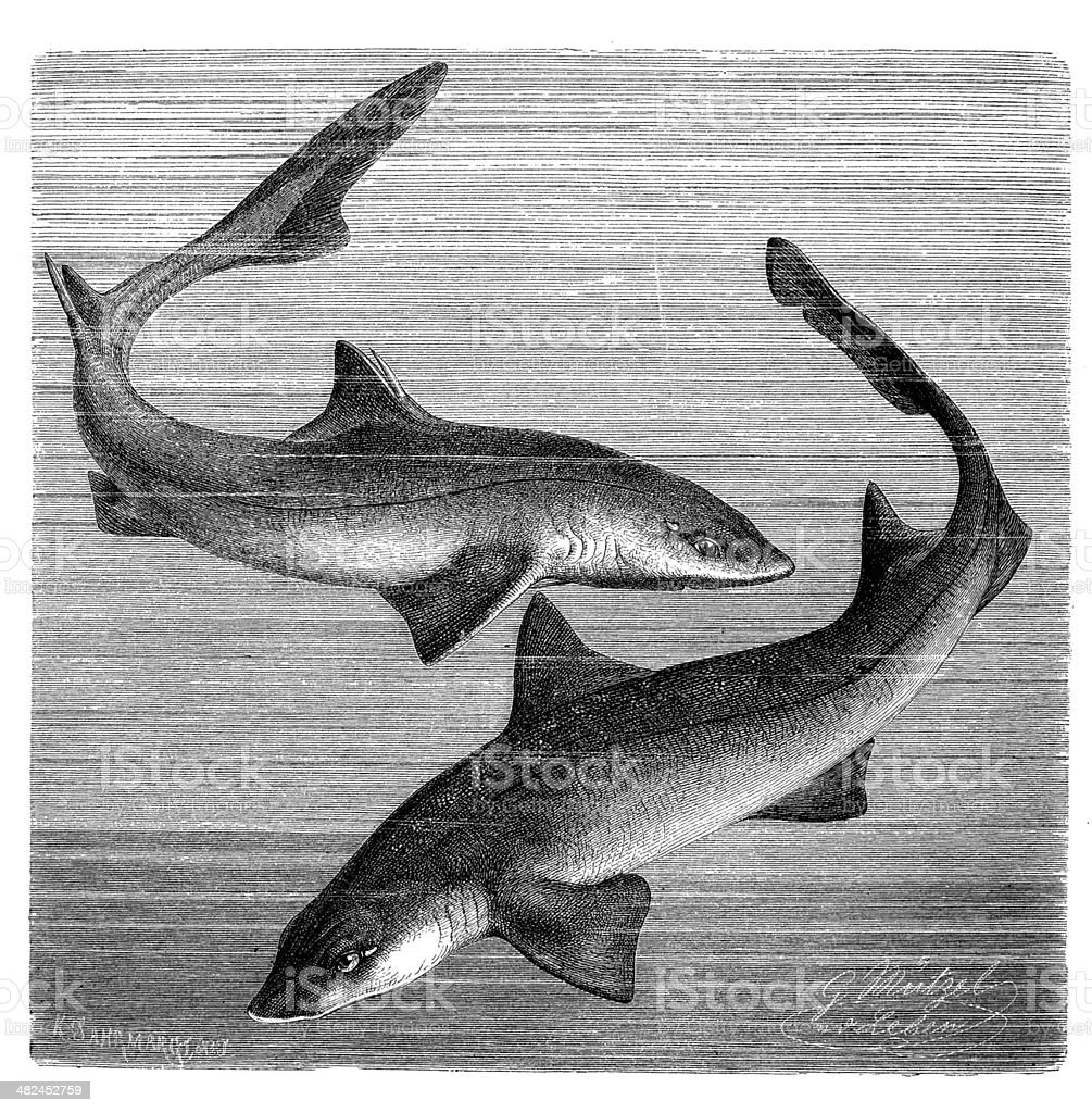 Antique illustration of spiny dogfish or spurdog and common smooth-hound vector art illustration