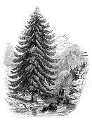 Antique illustration of spruce fir