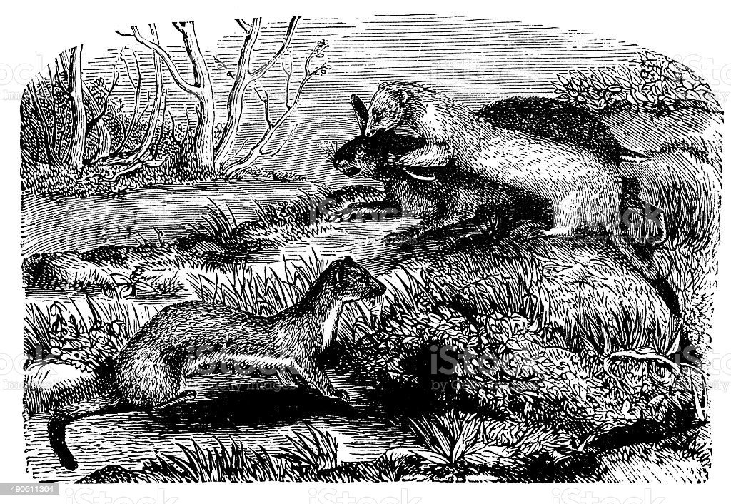 Antique illustration of stoats (Mustela erminea) catching a rabbit vector art illustration