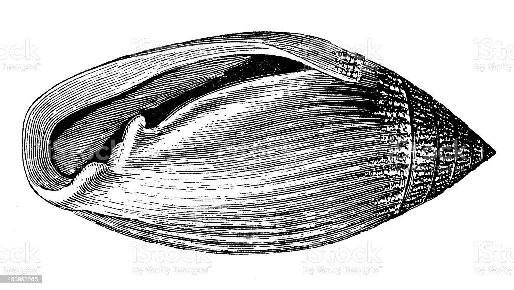 Antique illustration of Stomatella auricula (false ear shell) vector art illustration