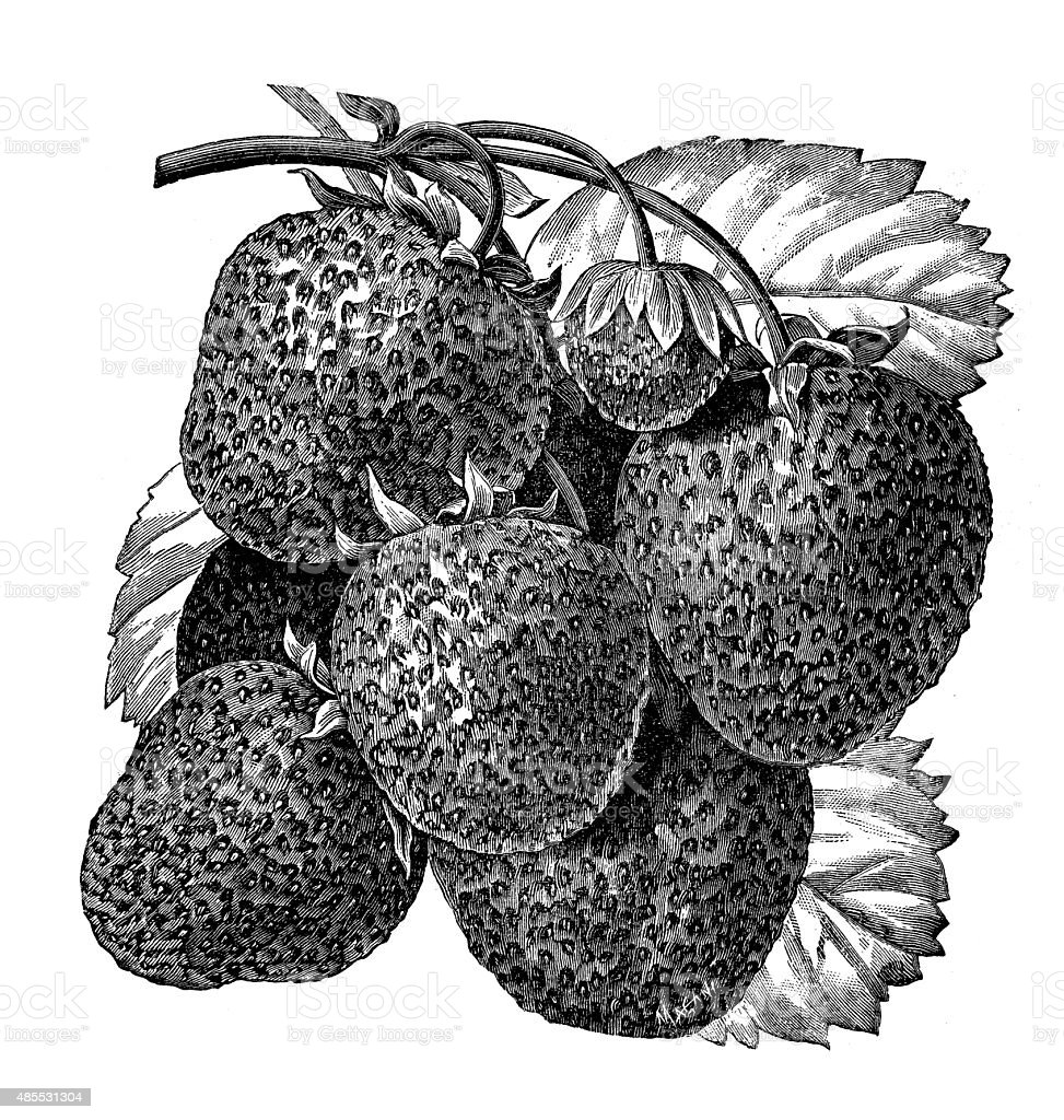 Antique illustration of strawberry vector art illustration