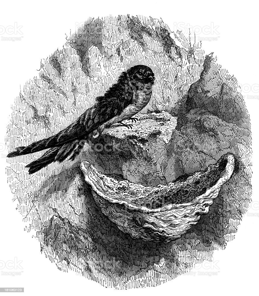 Antique illustration of Swallow - Hirondelle Salangane royalty-free stock vector art