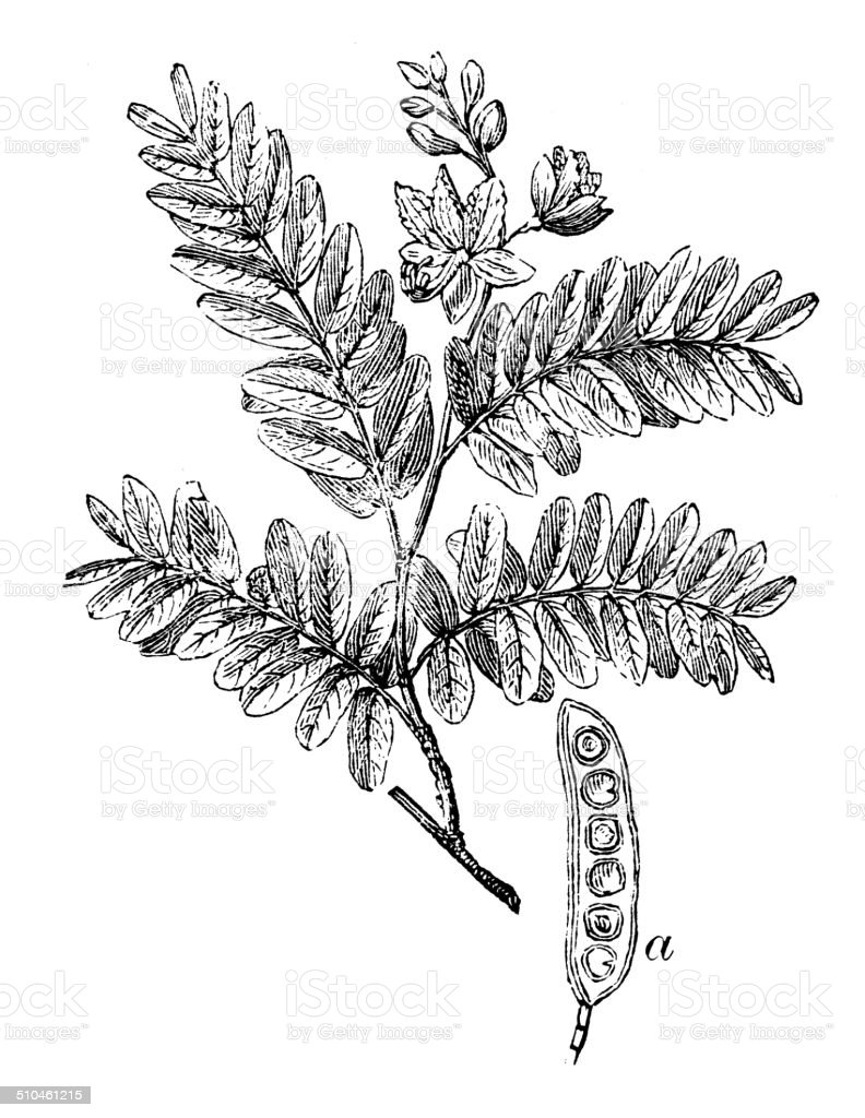 Antique illustration of Tamarind (Tamarindus indica) vector art illustration