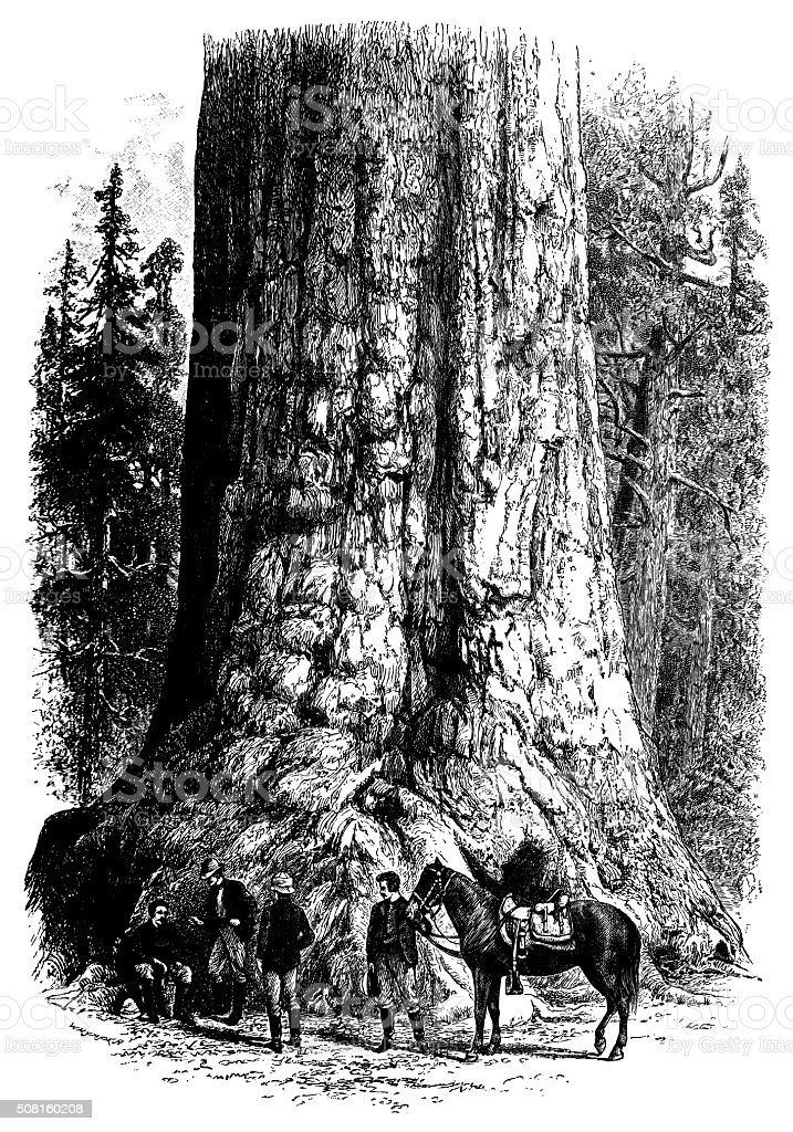 Antique illustration of the 'Grizzly giant' vector art illustration
