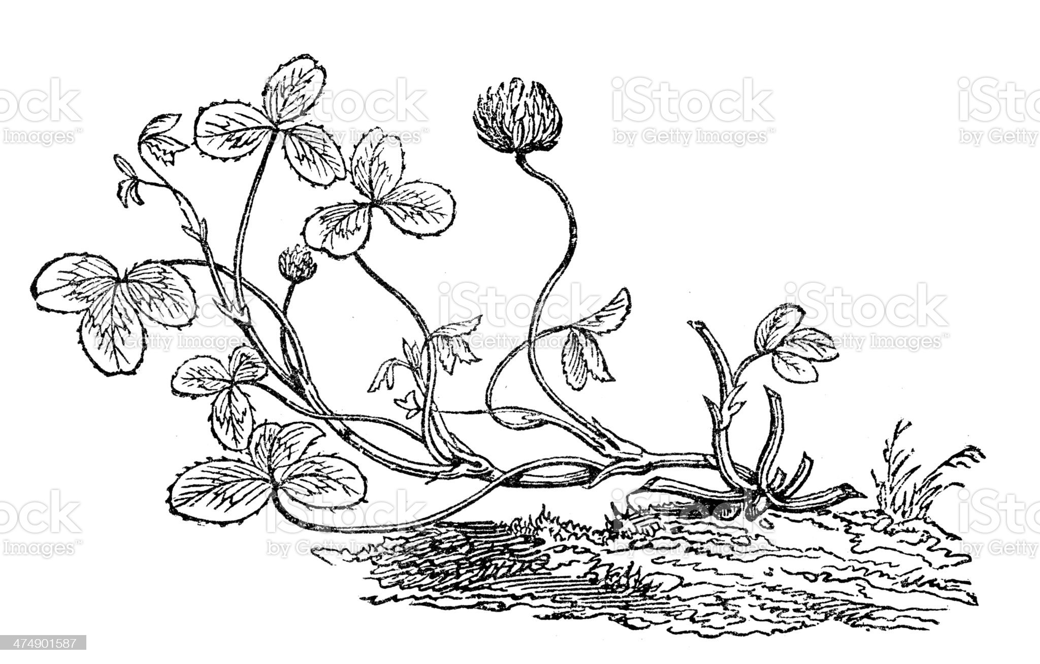 Antique illustration of Trifolium repens (white clover) royalty-free stock vector art