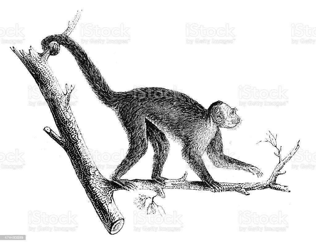Antique illustration of tufted capuchin (Cebus apella) vector art illustration