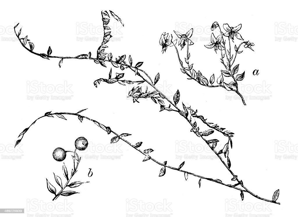 Antique illustration of Vaccinium oxycoccos or Oxycoccus palustris (Common Cranberry) vector art illustration