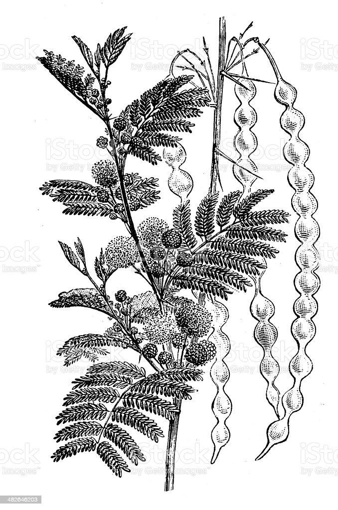 Antique illustration of Vachellia nilotica (Acacia nilotica, gum arabic tree) vector art illustration