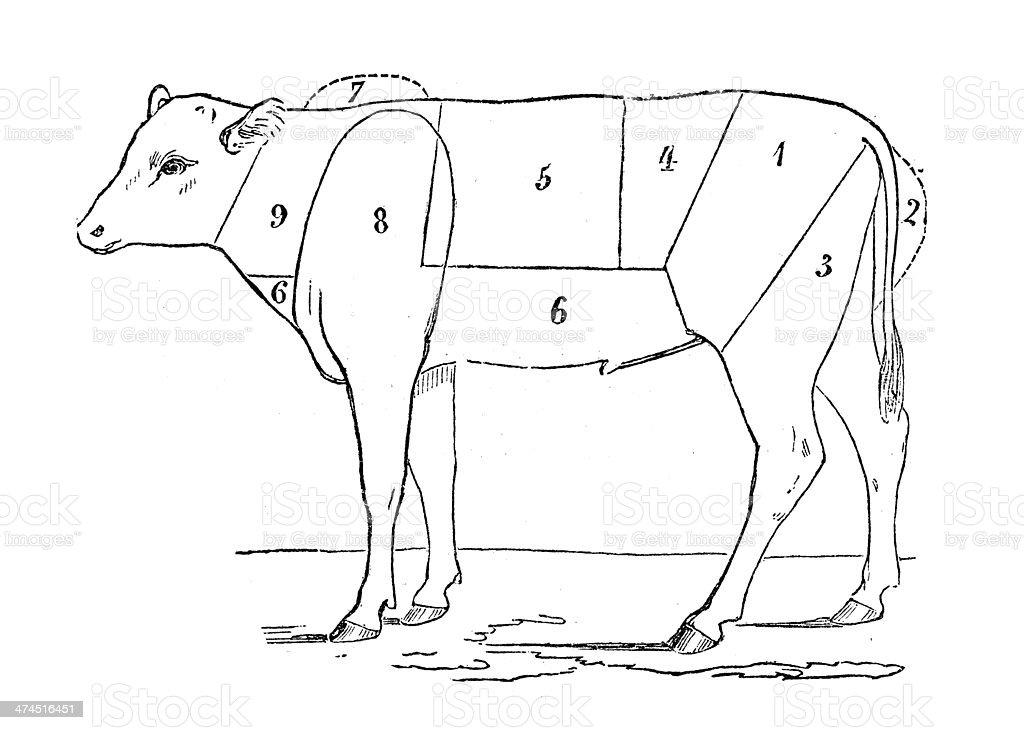 Antique illustration of veal beef meat section vector art illustration