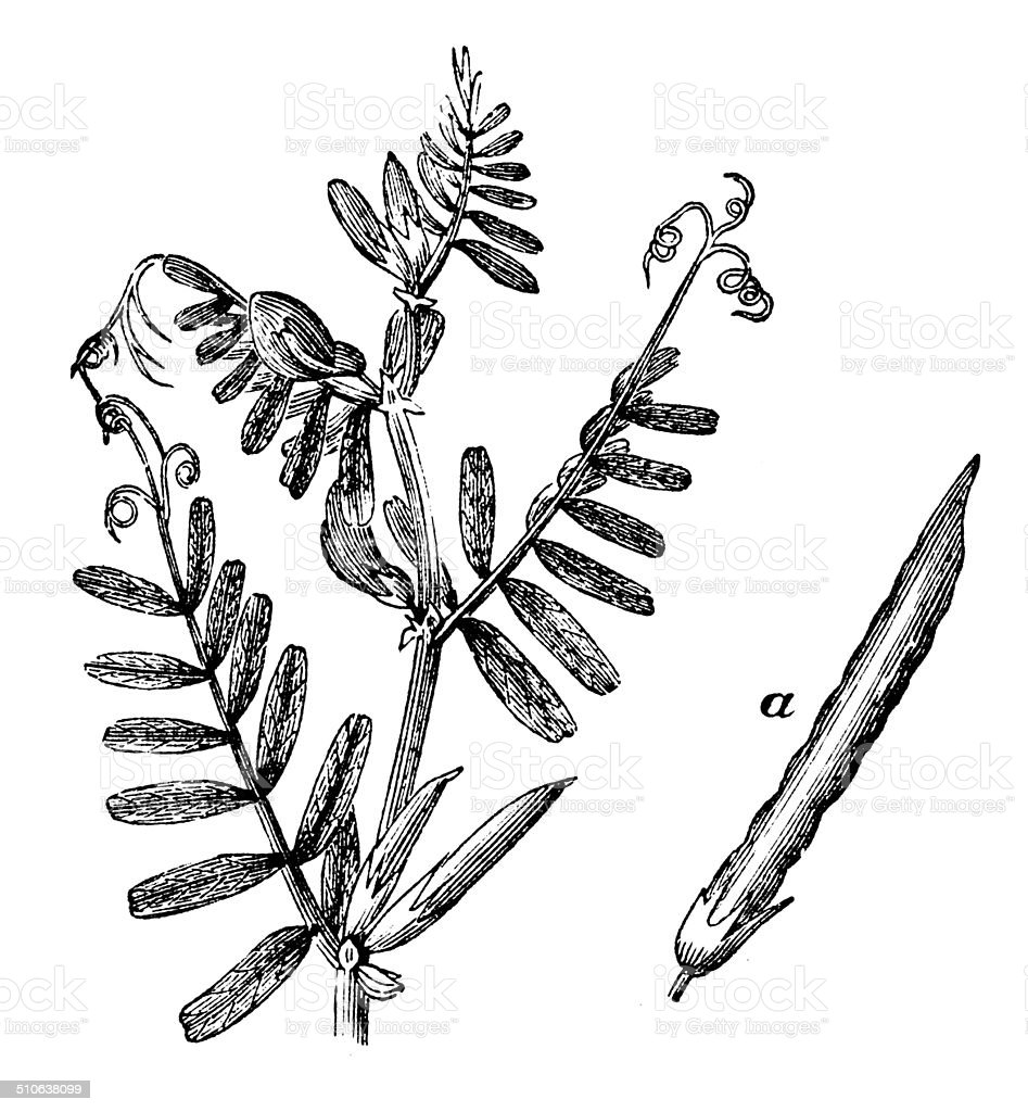 Antique illustration of Vicia sativa (vetch) vector art illustration