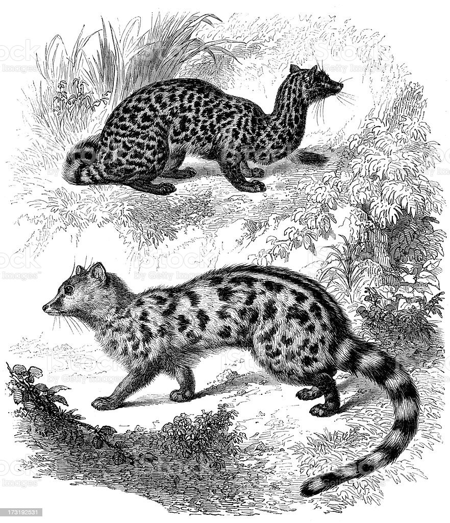 Antique illustration of Viverra Genetta royalty-free stock vector art