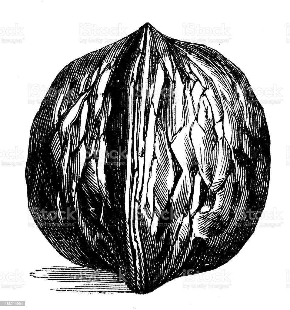 Antique illustration of walnut vector art illustration