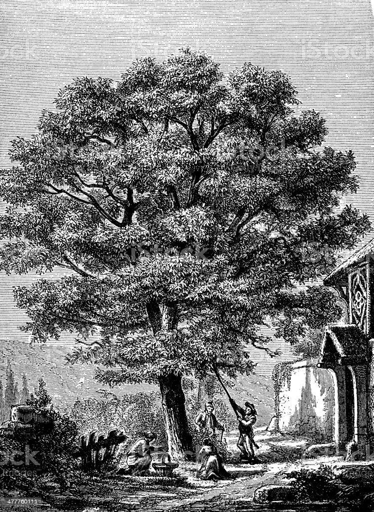 Antique illustration of walnut tree vector art illustration