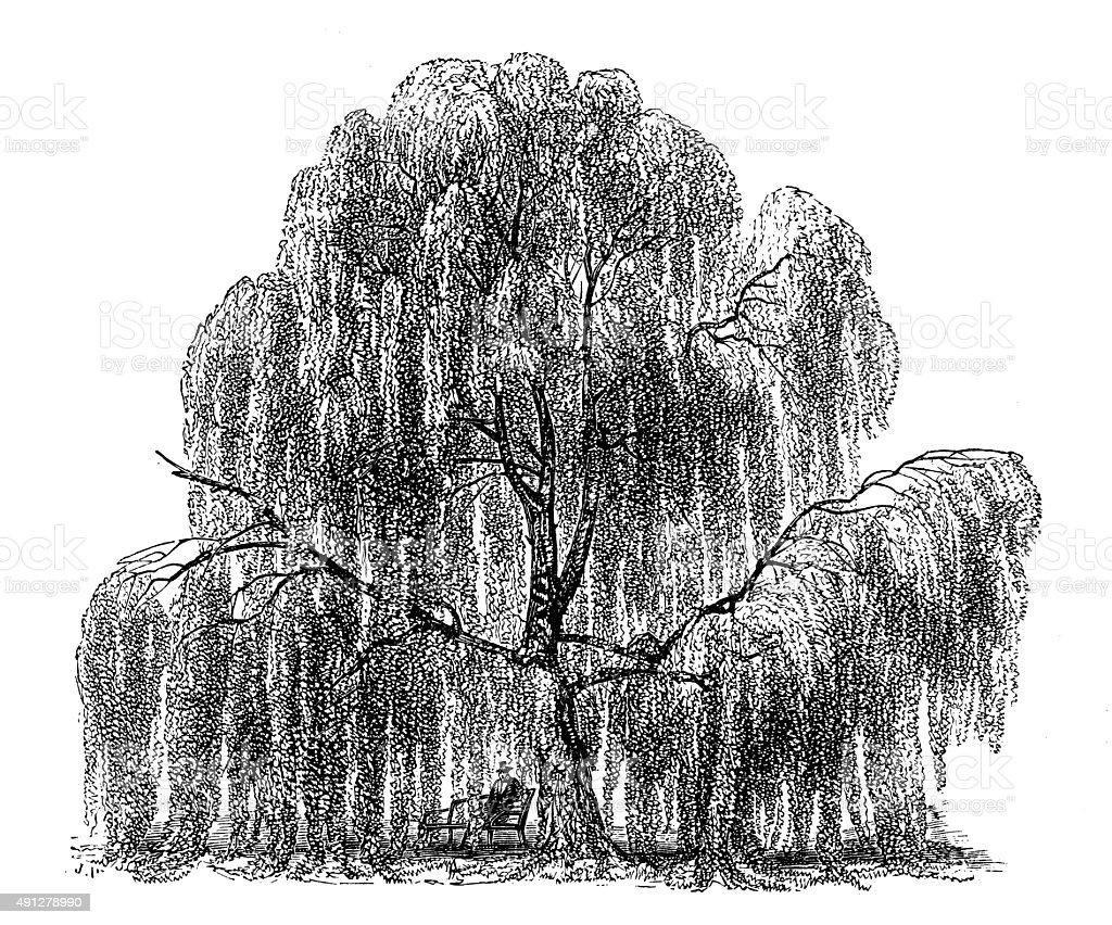 Antique illustration of weeping birch vector art illustration