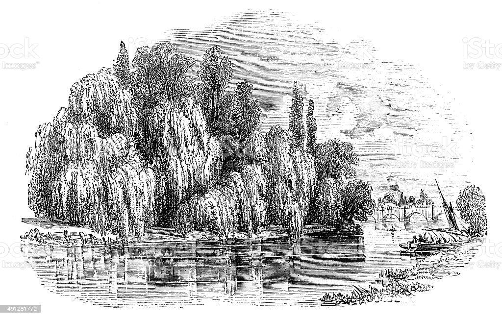 Antique illustration of weeping willow vector art illustration