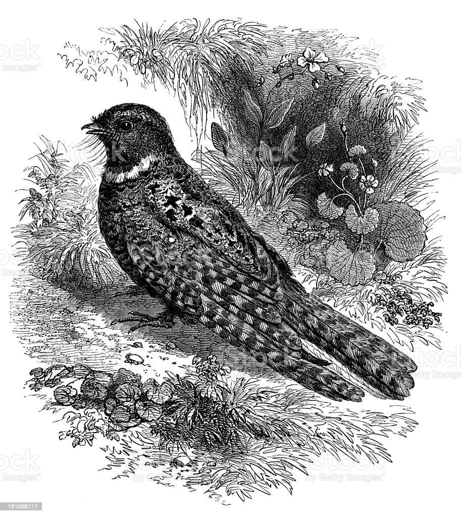 Antique illustration of Whip-poor-will (Antrostomus or Caprimulgus vociferus) vector art illustration