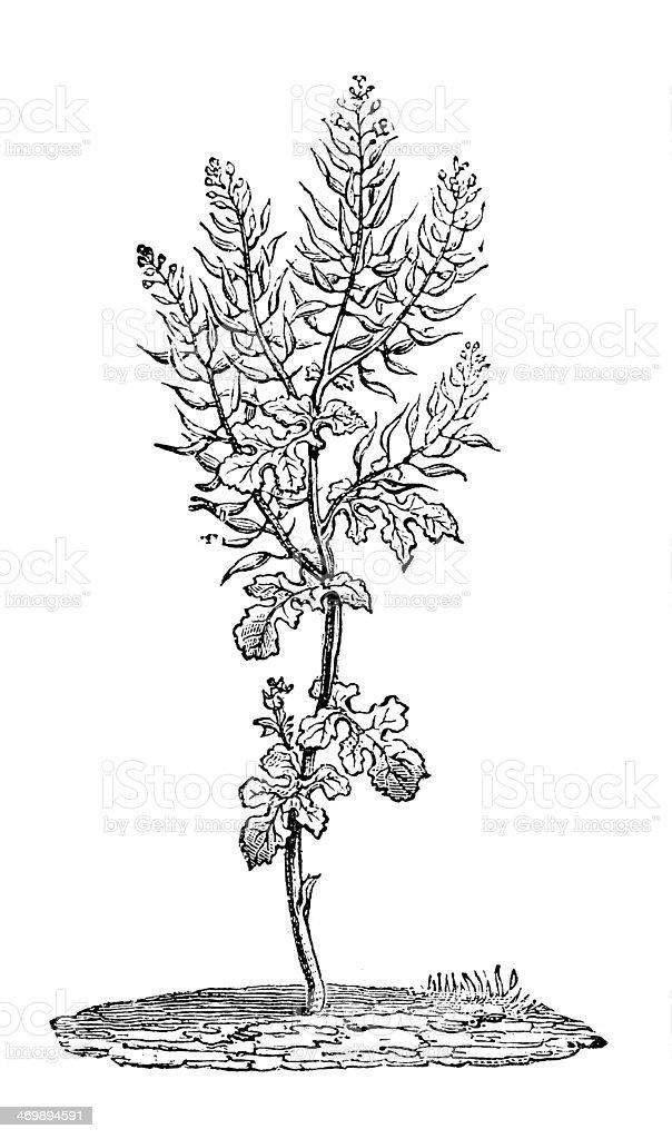 Antique illustration of White mustard (Sinapis alba) vector art illustration