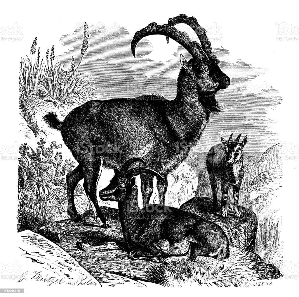 Antique illustration of wild goat (Capra aegagrus) vector art illustration