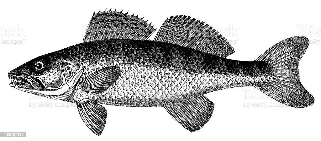 Antique illustration of Zander (Sander lucioperca or Stizostedion lucioperca) vector art illustration