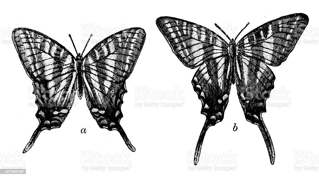 Antique illustration of Zebra Swallowtail (Protographium marcellus, Papilio ajax) vector art illustration