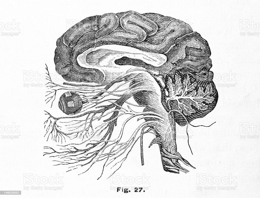 Antique medical illustration , Brain & Nervous system vector art illustration