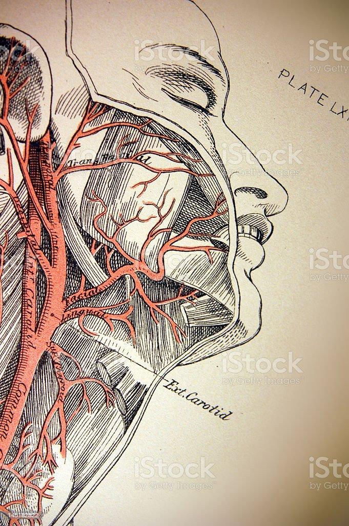 Antique Medical Illustration | Carotid Artery royalty-free stock vector art