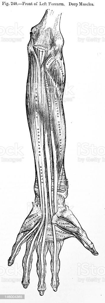 Antique Medical Illustration | Human arm royalty-free stock vector art