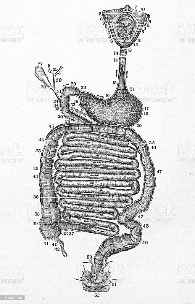 Antique medical illustration , Human Digestive System vector art illustration