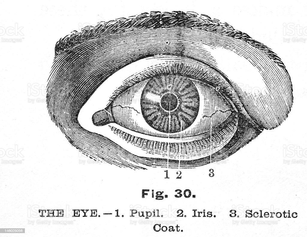Antique medical illustration , Human Eye vector art illustration
