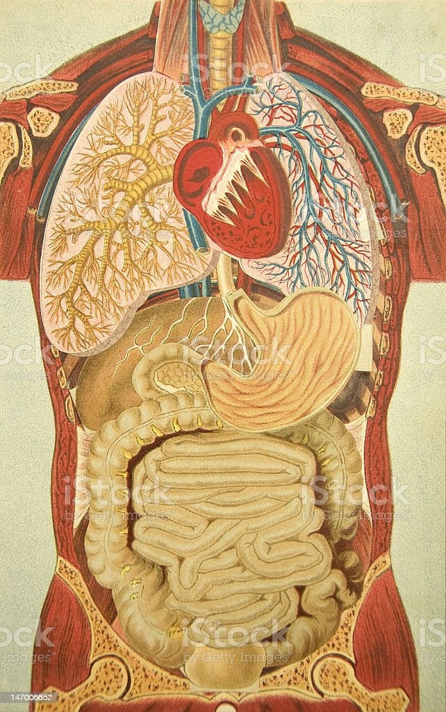 Antique Medical Illustration | Pop-up Book of the Human Thorax royalty-free stock vector art