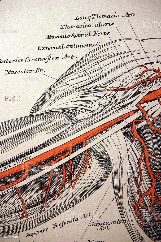 Antique Medical Illustration   Shoulder & Arm royalty-free stock vector art