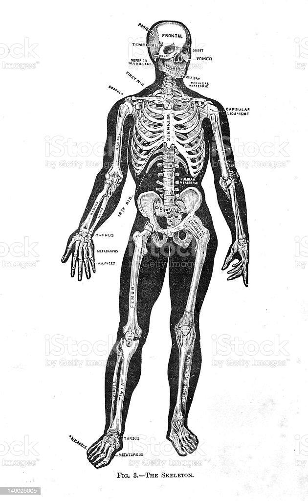 Antique Medical Illustration | Skin & Bones royalty-free stock vector art