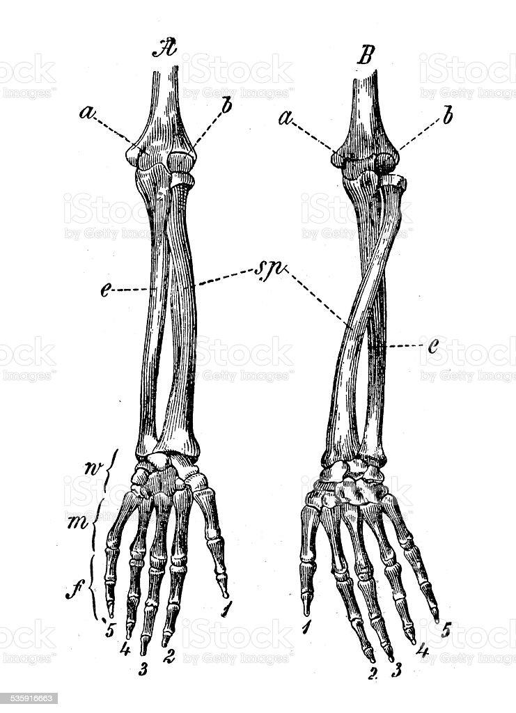 Antique medical scientific illustration high-resolution: arm bones vector art illustration